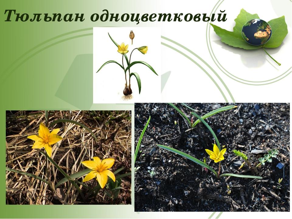 Тюльпан одноцветковый