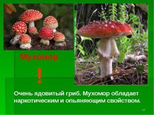 ! Очень ядовитый гриб. Мухомор обладает наркотическим и опьяняющим свойством.