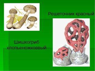 Шишкогриб хлопьеножковвый Решеточник красный