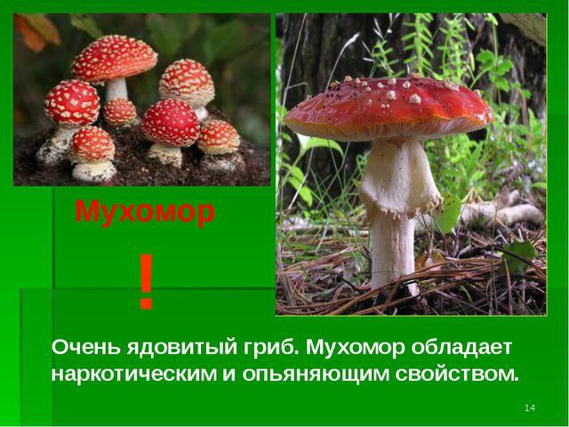 ! Очень ядовитый гриб. Мухомор обладает наркотическим и опьяняющим свойством....