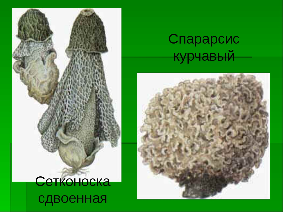 Сетконоска сдвоенная Спарарсис курчавый