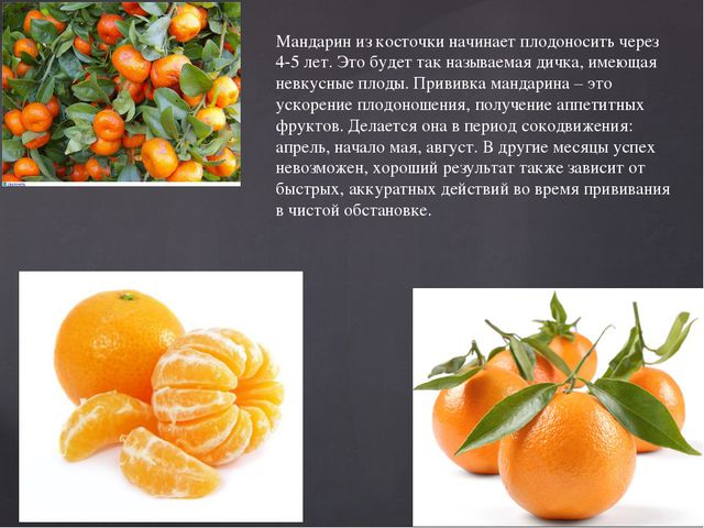 Как вырастить плодоносящий мандарин в домашних условиях