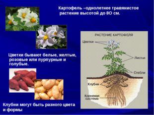 Цветки бывают белые, желтые, розовые или пурпурные и голубые. Картофель –одн