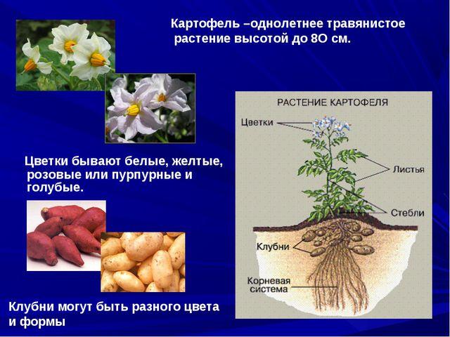 Цветки бывают белые, желтые, розовые или пурпурные и голубые. Картофель –одн...