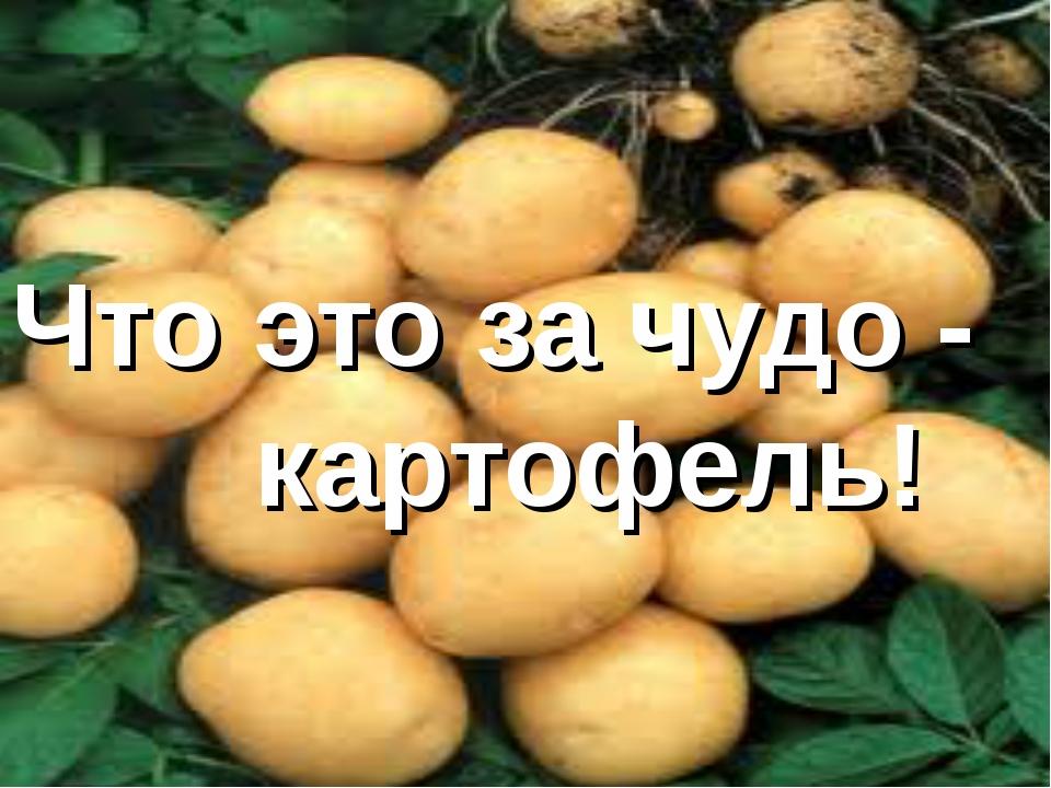 Что это за чудо - картофель!