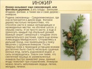 ИНЖИР Инжир называют еще смоковницей, или фиговым деревом, а его плоды - винн