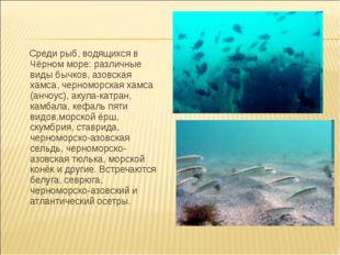 Среди рыб, водящихся в Чёрном море: различные виды бычков, азовская хамса, ч