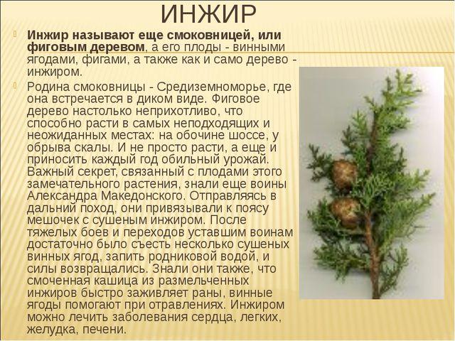ИНЖИР Инжир называют еще смоковницей, или фиговым деревом, а его плоды - винн...
