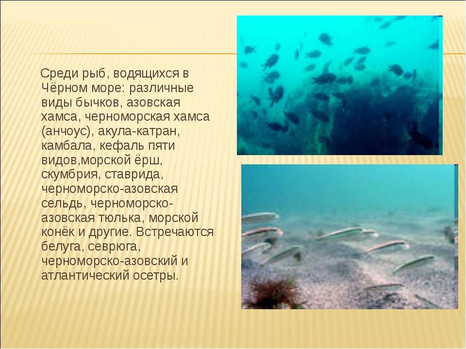 Среди рыб, водящихся в Чёрном море: различные виды бычков, азовская хамса, ч...