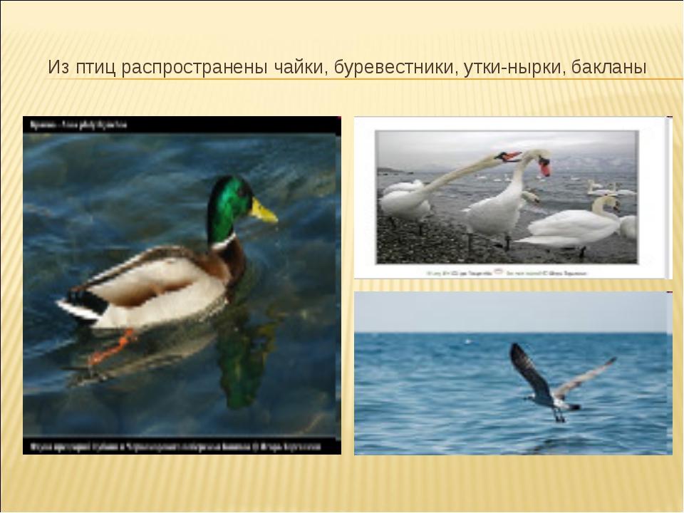 Из птиц распространены чайки, буревестники, утки-нырки, бакланы