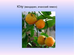 Юзу (мандарин, ичанский лимон)