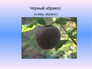 Черный абрикос (слива, абрикос)
