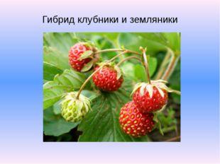 Гибрид клубники и земляники