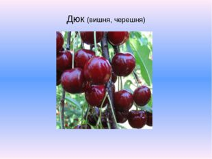 Дюк (вишня, черешня)