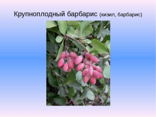 Крупноплодный барбарис (кизил, барбарис)