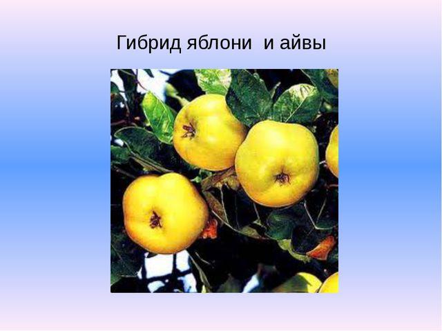 Гибрид яблони и айвы