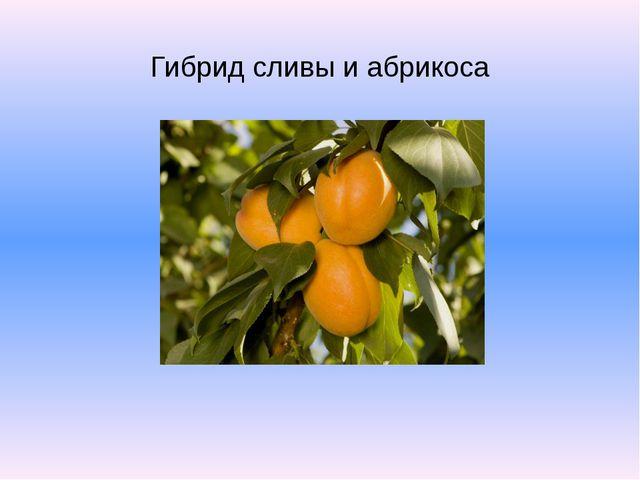 Гибрид сливы и абрикоса