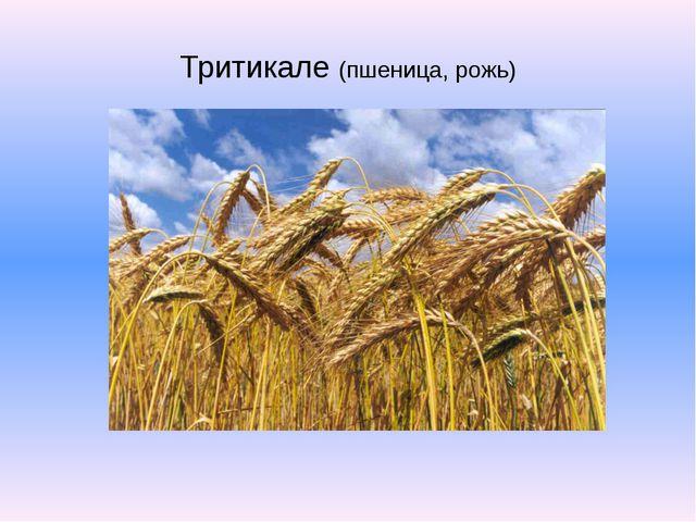 Тритикале (пшеница, рожь)