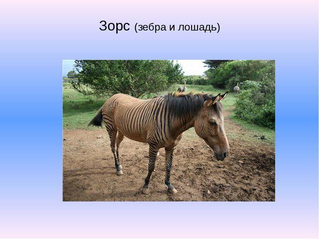 Зорс (зебра и лошадь)