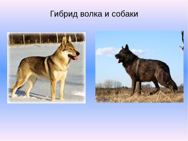 Гибрид волка и собаки