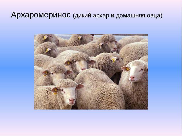 Архаромеринос (дикий архар и домашняя овца)