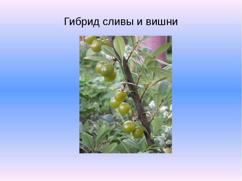Гибрид сливы и вишни