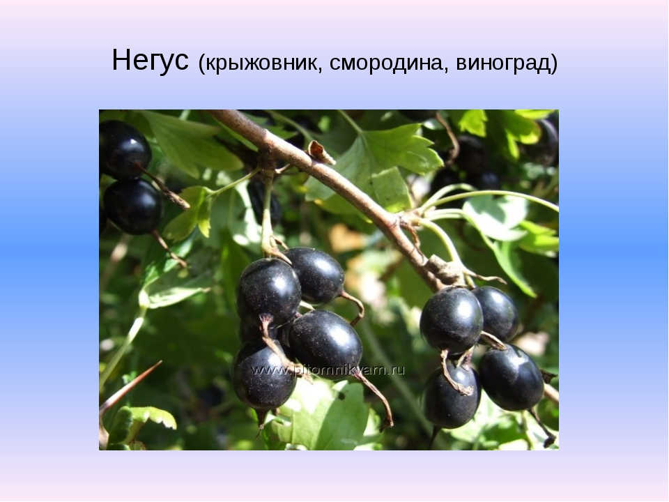 Негус (крыжовник, смородина, виноград)