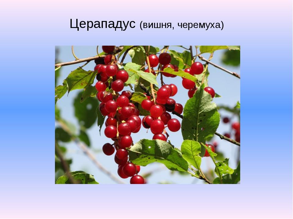Церападус (вишня, черемуха)