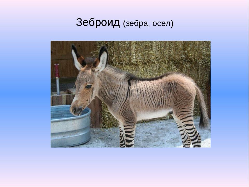 Зеброид (зебра, осел)