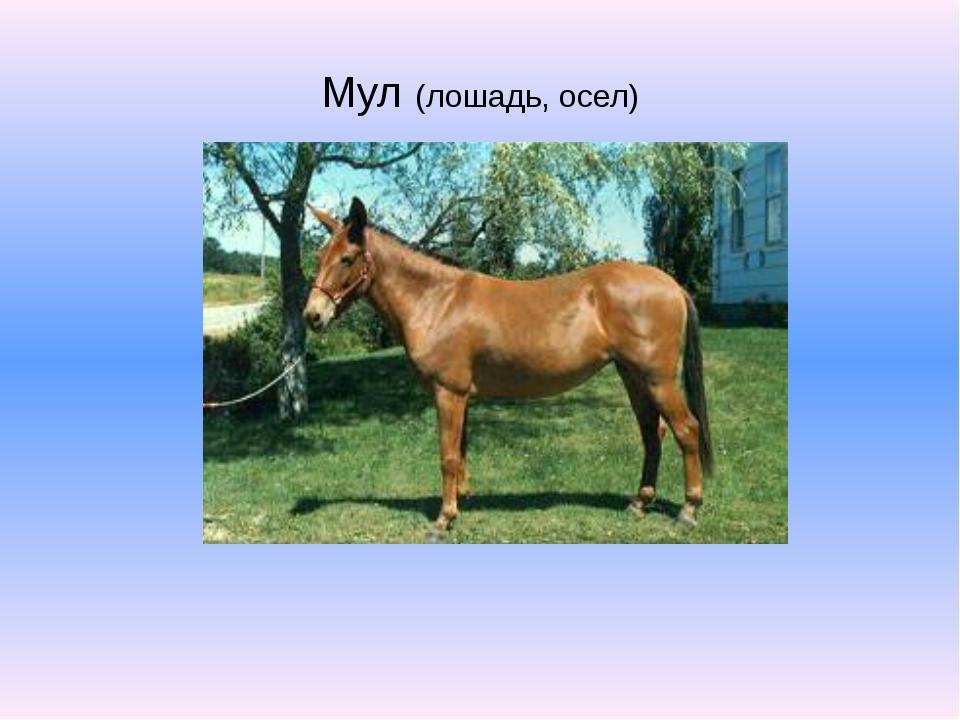Мул (лошадь, осел)