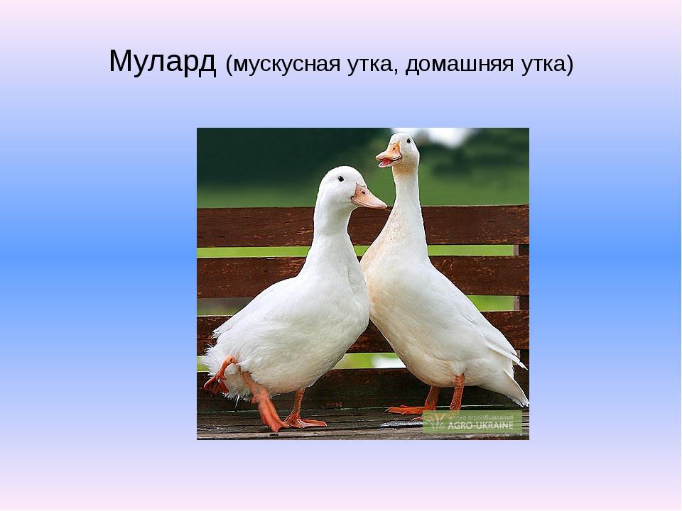 Мулард (мускусная утка, домашняя утка)