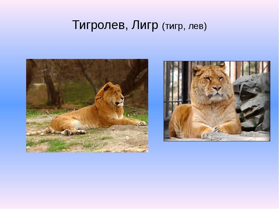Тигролев, Лигр (тигр, лев)