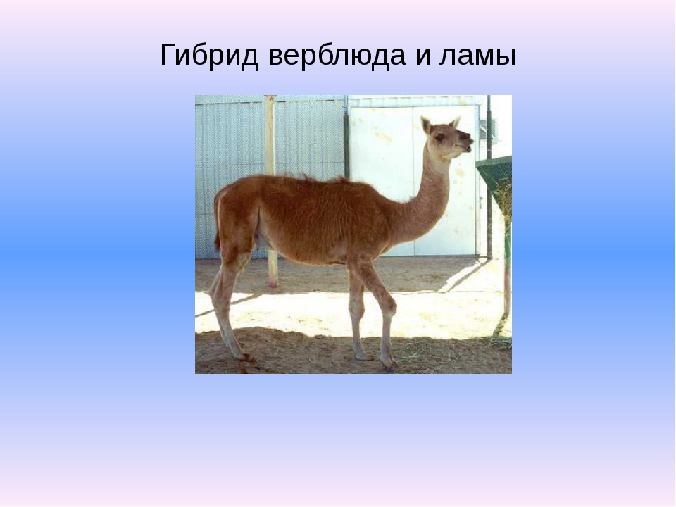 Гибрид верблюда и ламы