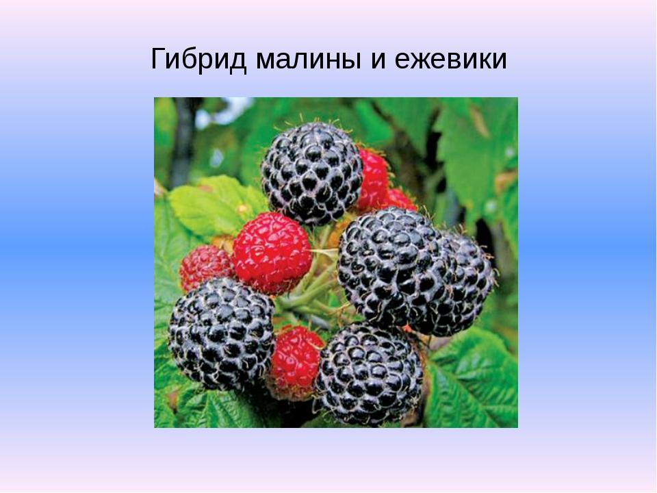 Гибрид малины и ежевики