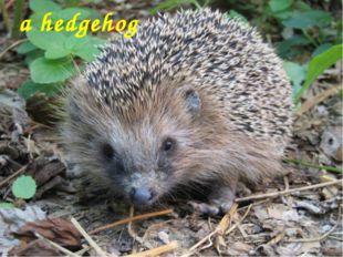 a hedgehog