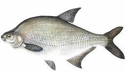 Лещ - Рыбалка и охота в Оренбургской области