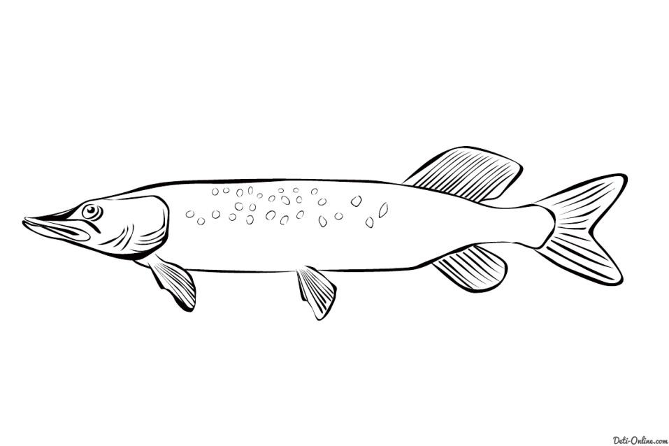 Раскраска Щука Раскраски Рыбы