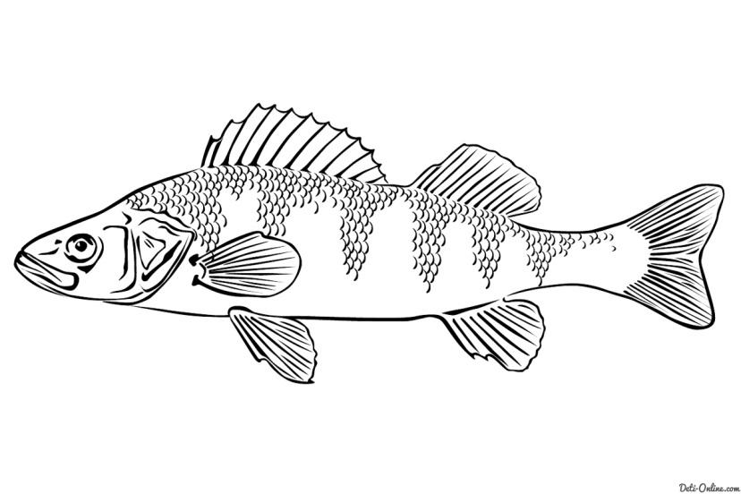 Раскраска Окунь Раскраски Рыбы