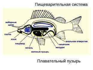 Пищеварительная система Плавательный пузырь