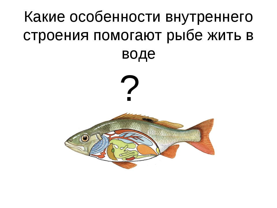 ? Какие особенности внутреннего строения помогают рыбе жить в воде