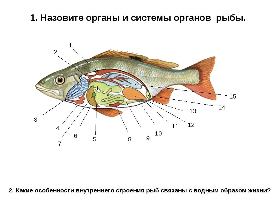 1. Назовите органы и системы органов рыбы. 1 2 3 4 5 6 7 8 9 10 11 13 12 14 1...