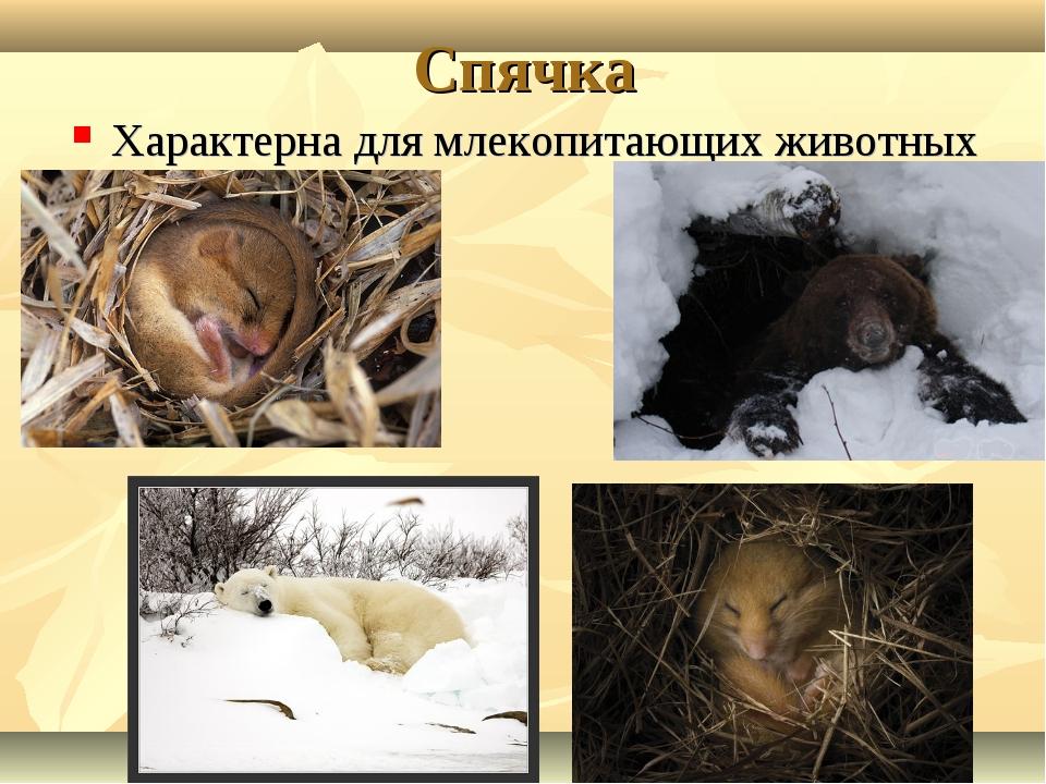 Спячка Характерна для млекопитающих животных