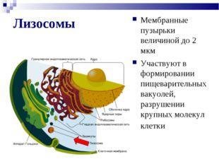Лизосомы Мембранные пузырьки величиной до 2 мкм Участвуют в формировании пище