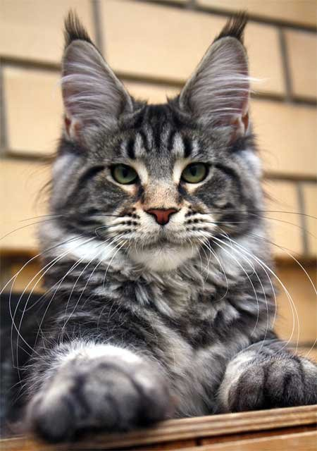http://art-assorty.ru/uploads/posts/2011-11/1320919863_9973-maine-coon-gulliver.jpg