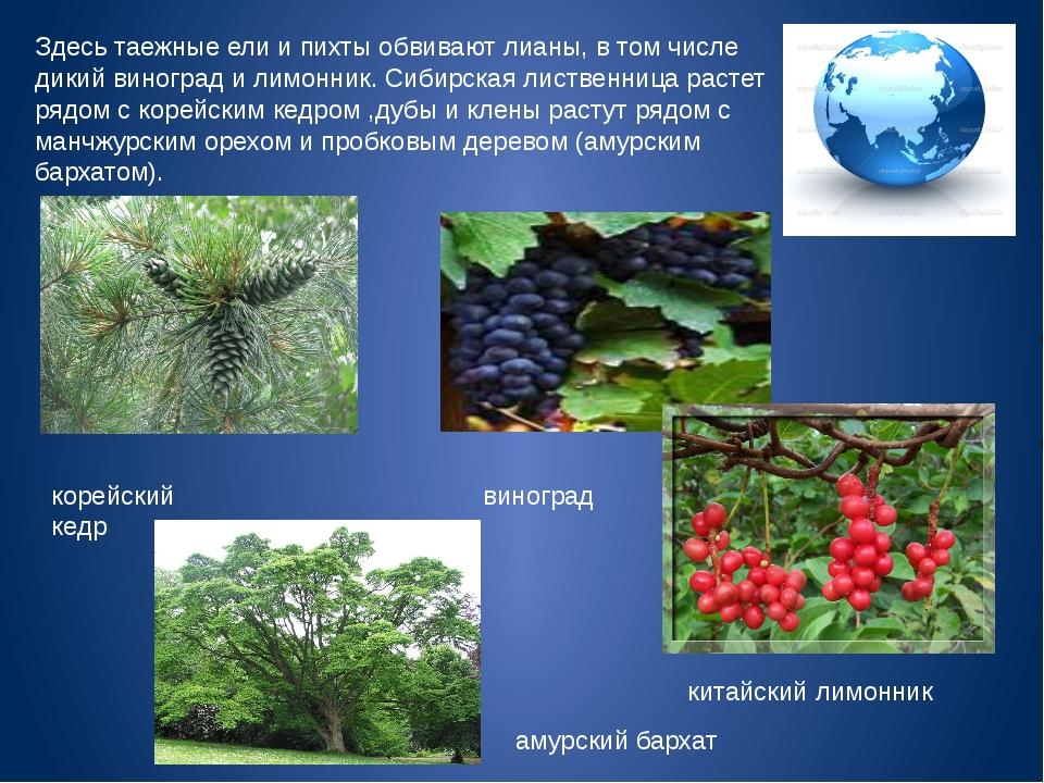 Здесь таежные ели и пихты обвивают лианы, в том числе дикий виноград и лимонн...