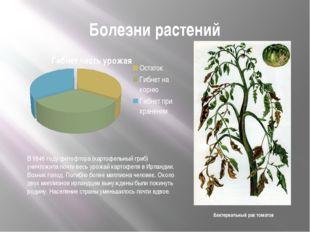 Болезни растений Бактериальный рак томатов В 1846 году фитофтора (картофельны