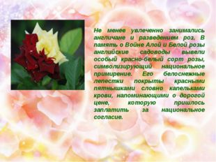 Не менее увлеченно занимались англичане и разведением роз. В память о Войне
