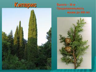 Высота – 30 м Продолжительность  жизни до 500 лет Кипарис
