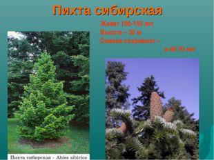 Пихта сибирская Живет 100-150 лет Высота – 30 м Семена созревают – в 40-70
