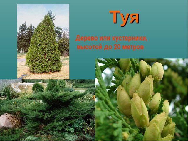 Туя Дерево или кустарники, высотой до 20 метров